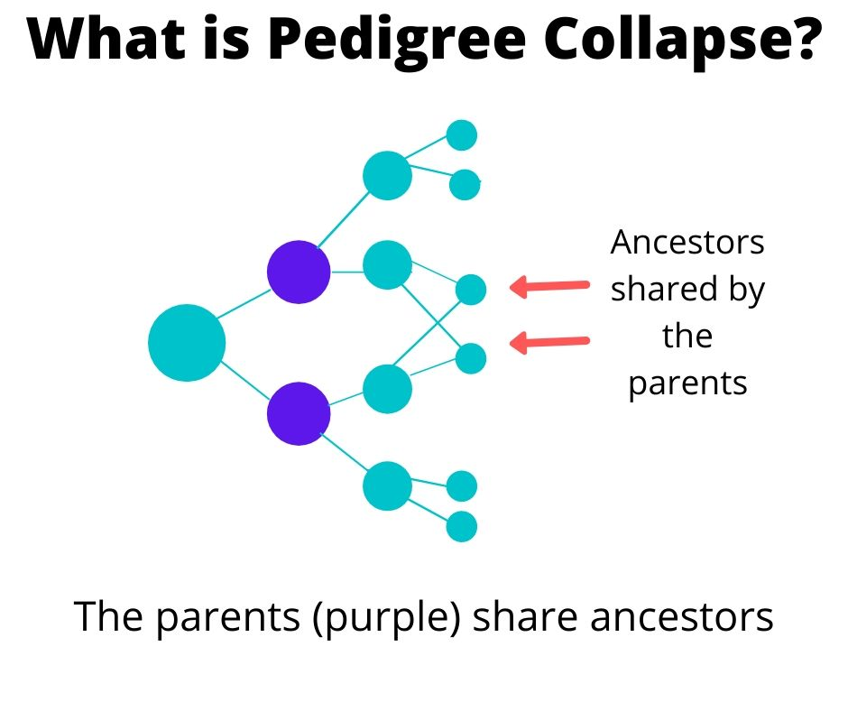 Visual illustration of the pedigree collapse example.  The parents (purple dots) share grandparents, meaning they are first cousins